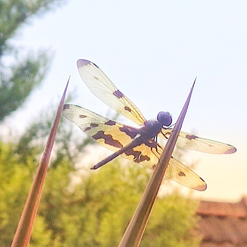 A dragon-fly basking on a stalk in the late morning sunshine...